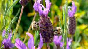 Bees on lavender CU (SMALL)